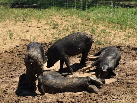 Can Farm Pigs Swim?