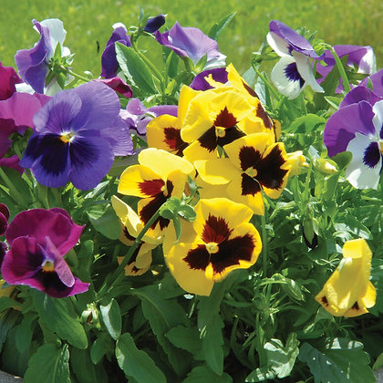 'Majestic Giant' Pansy