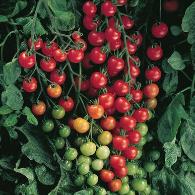 'Sweet 100' Cherry Tomato