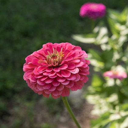 'Carmine Rose' Zinnia