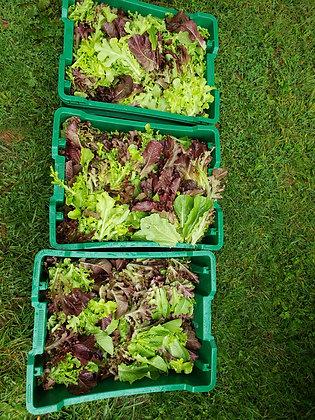 Lettuce mix