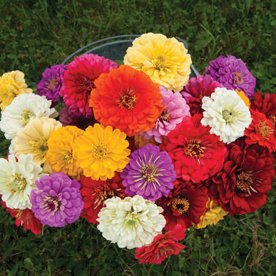 'Field Mix' Zinnia