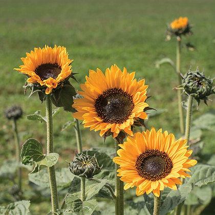 'Soraya' Sunflower