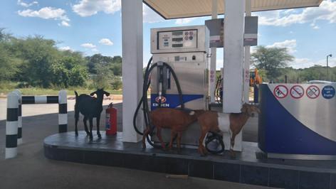 Rush Hour Goats