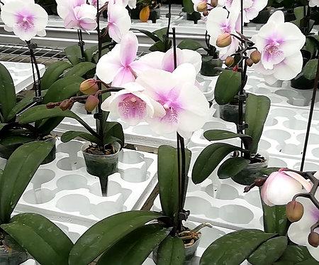 Orchidée Candy