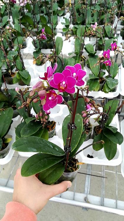 Orchidée Lena