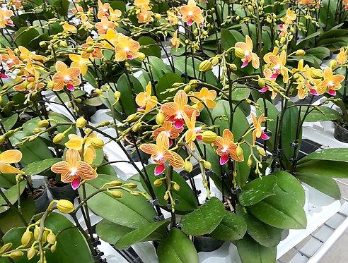 Orchidée Clémentine