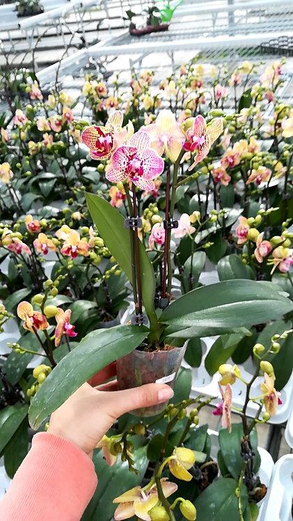 Orchidée Mandy