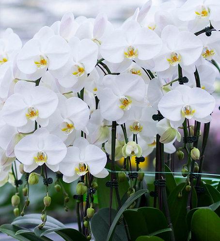 Orchidée Blanche XXL