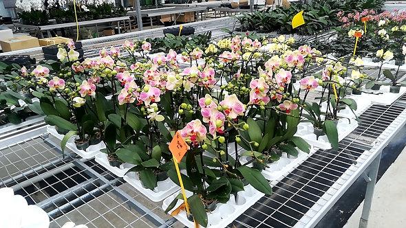 Orchidée Roxanne