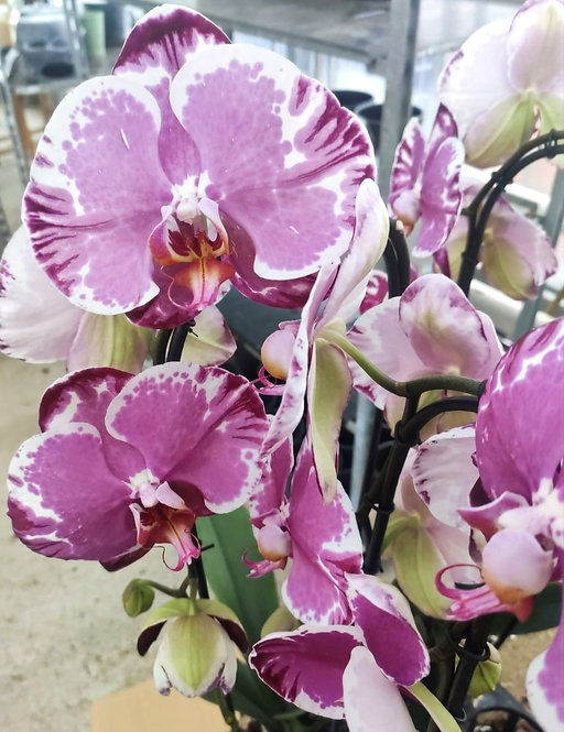Orchidée Clara