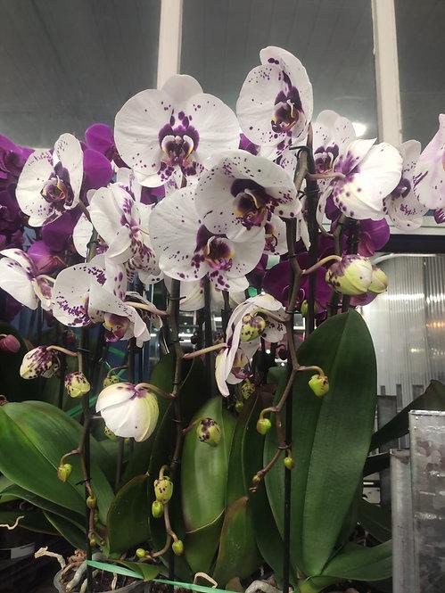 Orchidée Picasso