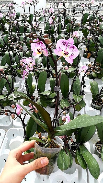 Orchidée Lili