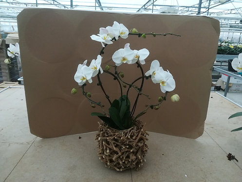 Compo 4orchidées blanches nid
