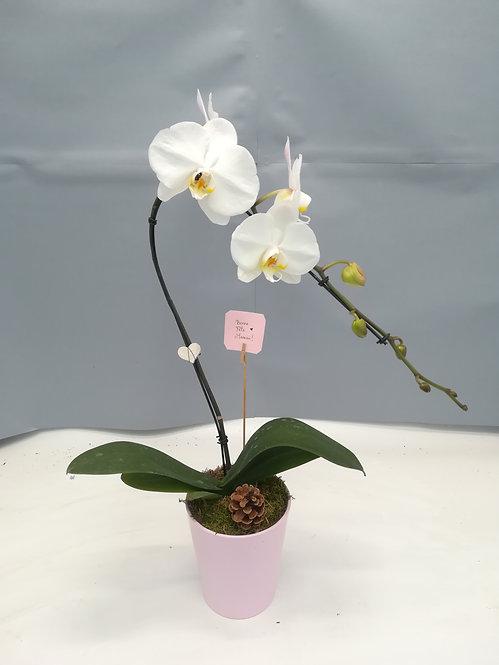 Orchidée blanche col de cygne