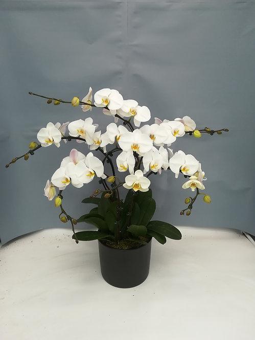 Compo 6 orchidées blanches