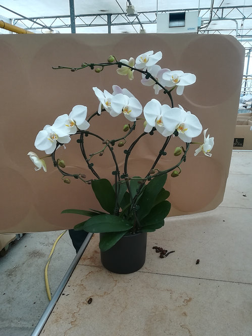Compo 4orchidées blanches