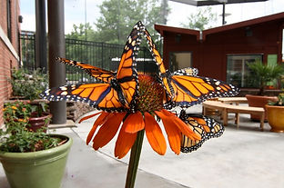monarchs_on_orange.jpg