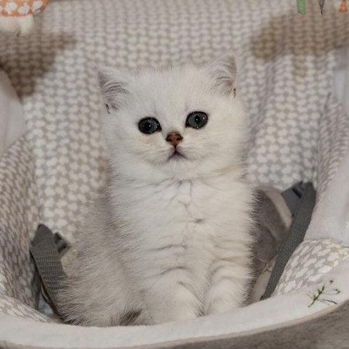 Bell British shorthair female kitten