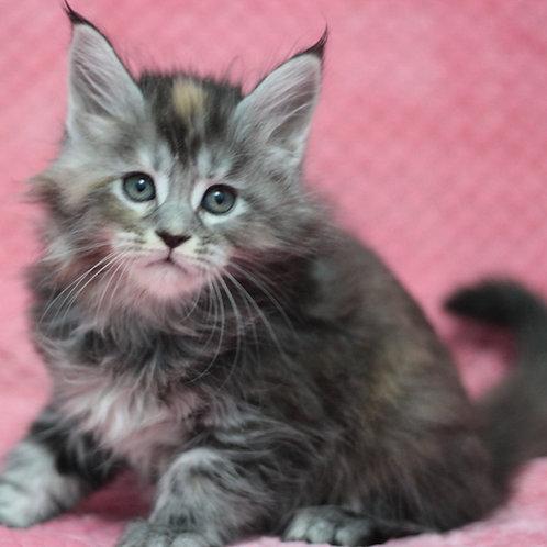 Greta Maine Coon female kitten