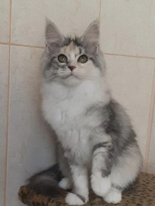 Tango Maine Coon kitten