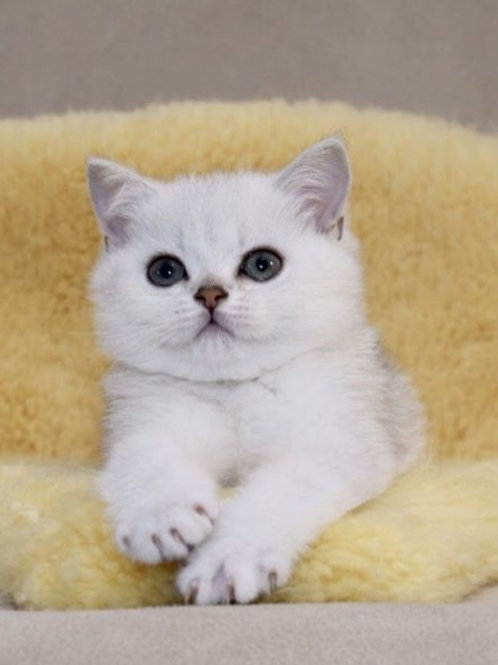 Baks British shorthair male kitten