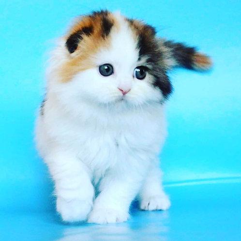 Daisy Scottish fold longhair female kitten
