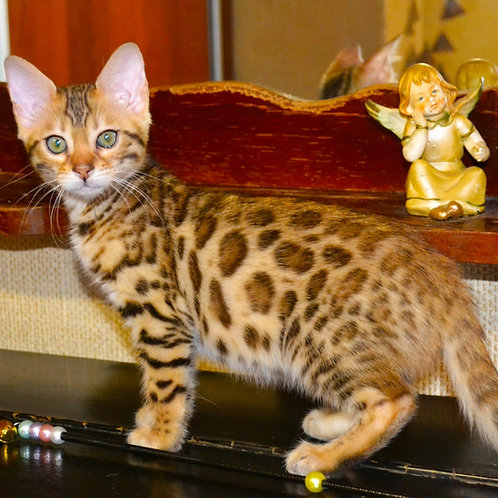 Josephine purebred Bengal female kitten