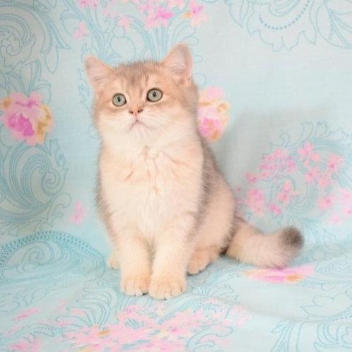 Markus British shorthair male kitten