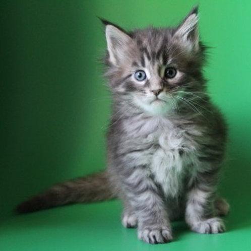 Jakson Maine Coon kitten