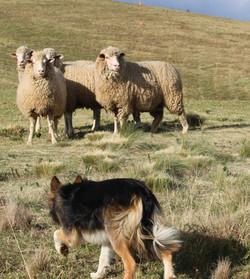 JKloof Elsie Celt's facing sheep