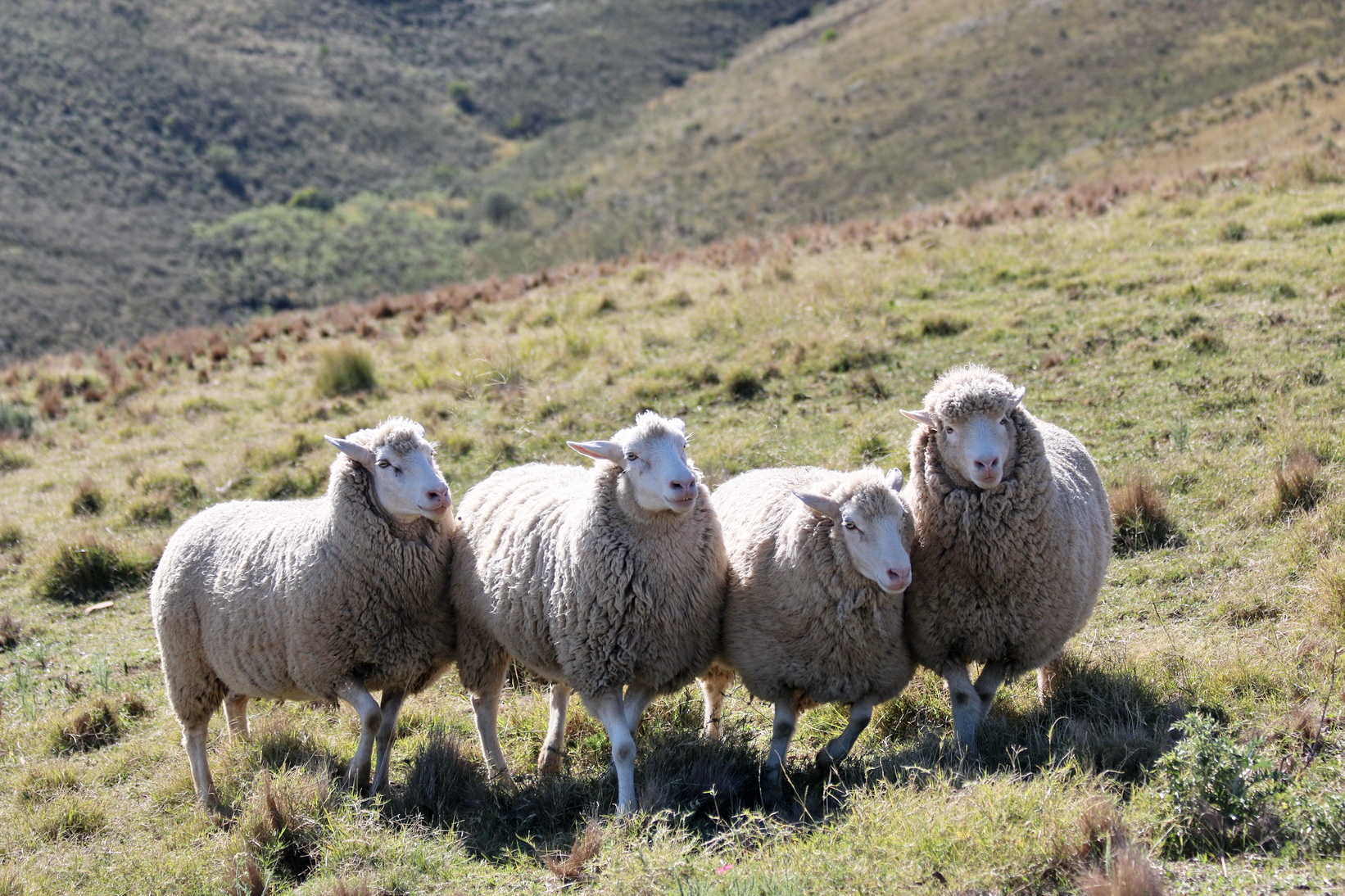 JKloof sheep