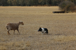 Coligny ewe lower res
