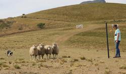 JK Irene's Eryn bringing sheep round r