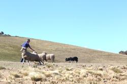 JK Andrew and Kim shedding sheep r