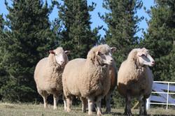 Jkloof sheep2