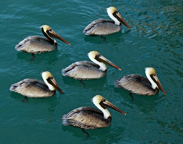 Pelicans - Naples, Florida