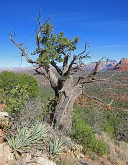 Weathered Tree - Sedona, Arizona