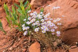 Wild Flowers - Zion National Park
