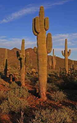 Saguaro Cactus at Sunset - Phoenix, Ariz