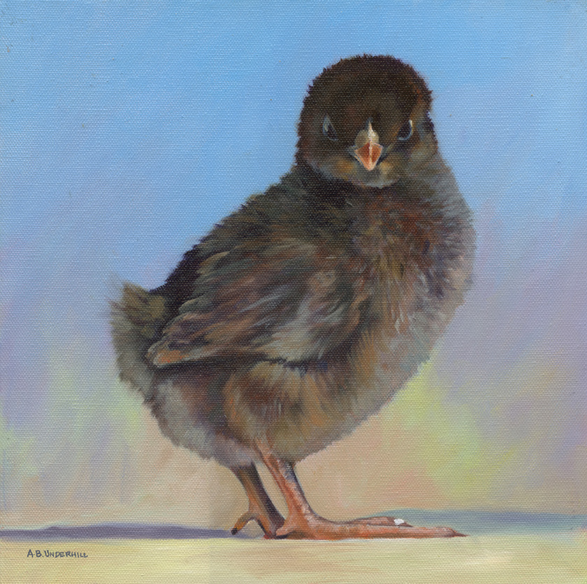 """Harriet"" Barnevelder Chick"