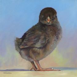 """""""Harriet"""" Barnevelder Chick"""