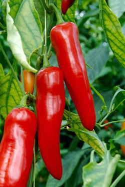 Snack Pepper XL
