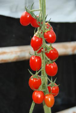 Grape Red 401