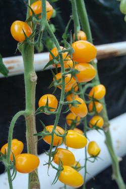 Grape Yellow 406