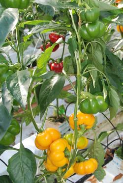 Tomato Yellow TP2401