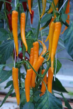 Chili Orange TP5504
