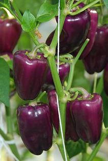 Snack Pepper.jpg