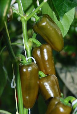 Snack Pepper Green TP4203