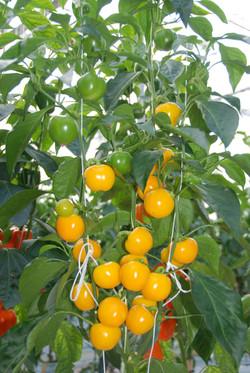 Cherry Yellow TP2801